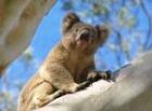 野生のコアラを見るチャンス