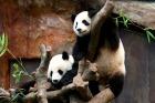 中国といったらやっぱりパンダ!