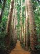 カウリ松の並木道