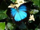 幸せの青い蝶 ユリシス