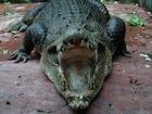 マインランドメラネシアの巨大ワニ