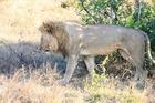 ライオンが起きた