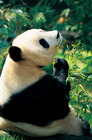 やっぱりパンダに会いたい!