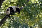 北京動物園・木登りパンダ