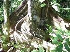 巨大な木の根