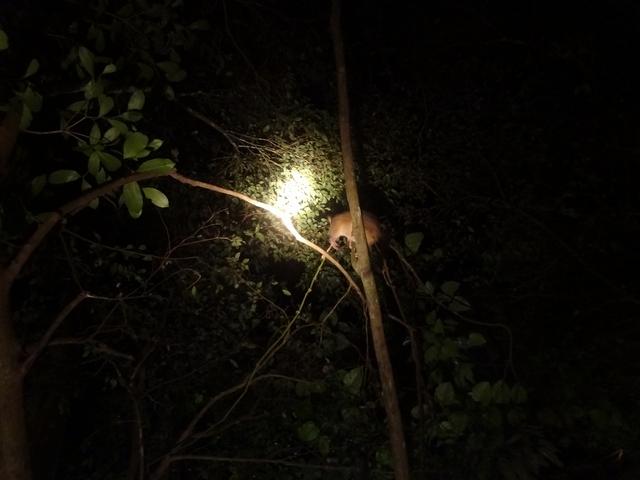 熱帯雨林散策でポッサム発見!!
