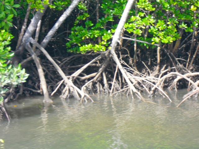 マングローブの林が広がっています。