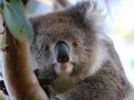 野生のコアラに会いに行こう