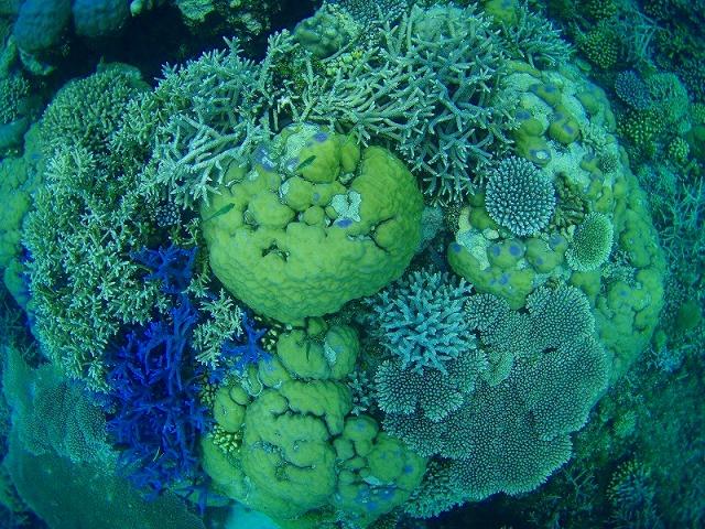 バラエティー豊富で元気なサンゴ