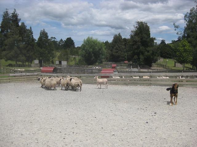 ニュージーランドといえば羊