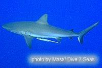 サメもよく見ます。グレイリーフシャーク