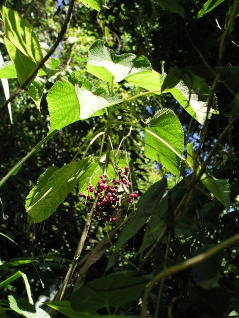 この植物は要注意!触ると数ヶ月痛みが走るそう。