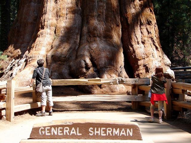 シャーマン将軍の木