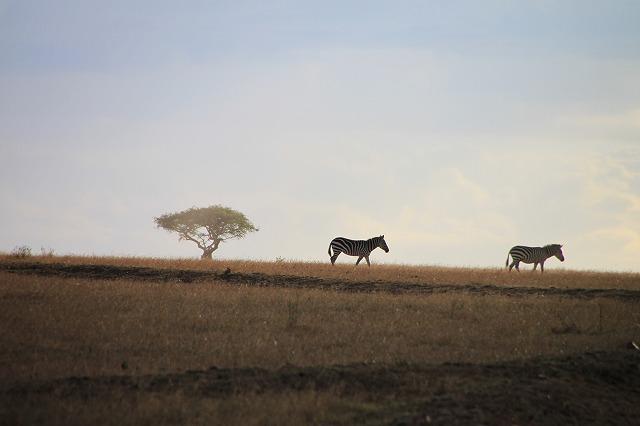 広大な草原にシマウマが