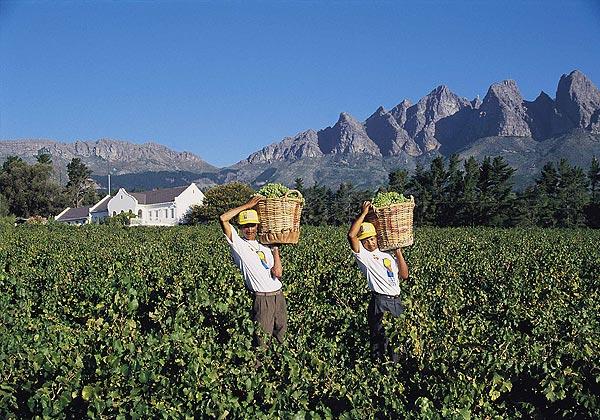 ぶどうの収穫風景