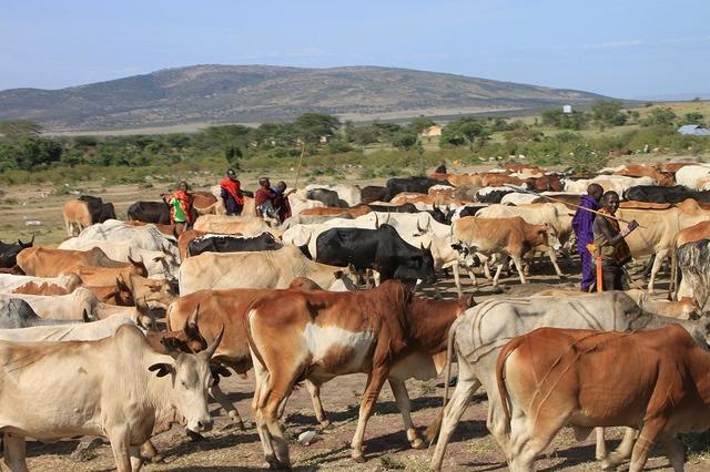 マサイ族が牛を放牧