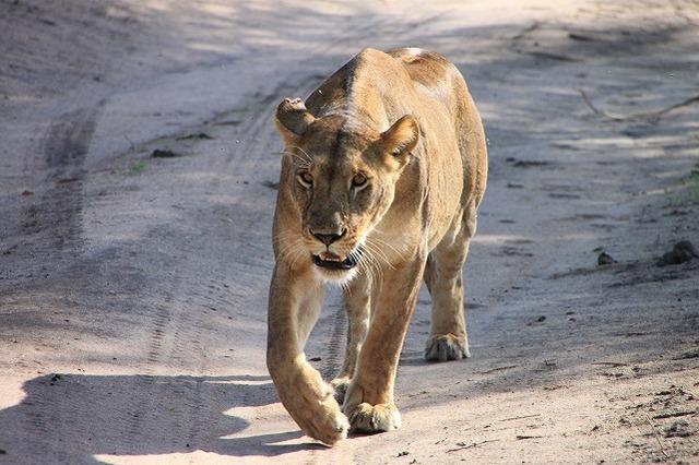 ライオンがこっちに来た!