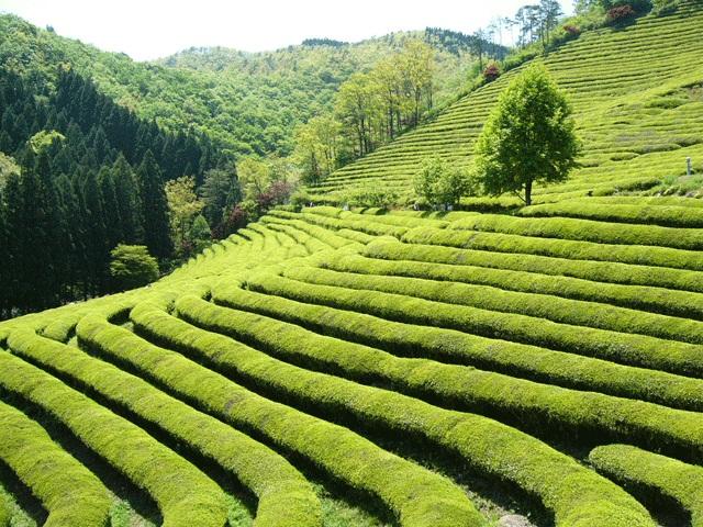 宝城茶園(ボソンダウォン)