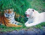 白いトラ!
