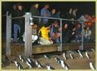 リトルペンギン