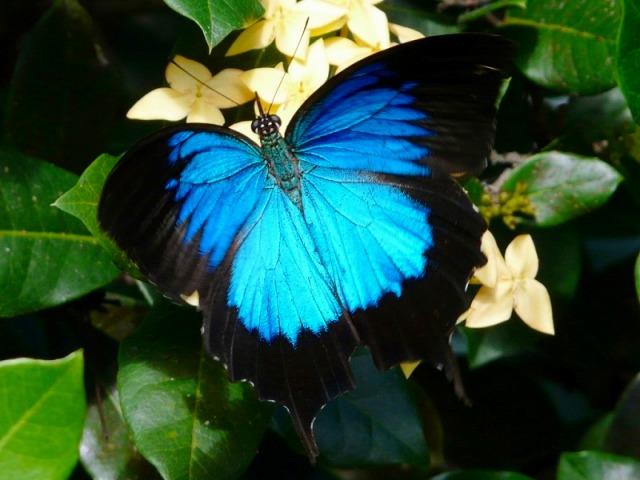 幸せの青い蝶ユリシス