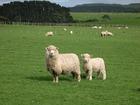 畜産・酪農国であ るニュージーランドの牧場を訪れてみませんか?気軽に行けるオークランド発日本語ガイド付き半日ツアー