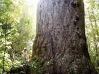 森の神・森の父・カウリの巨木たち ワイポウアツアー