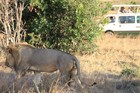 マサイマラ国立保護区でサファリ三昧! ナイロビ発 1泊2日