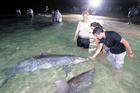 モートン島で野生のイルカに遭う!タンガルーマワイルドドルフィン1日ツアー