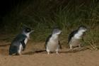 コアラ、カンガルーとペンギンパレード