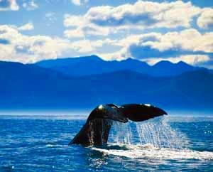 カイコウラでクジラウォッチング クライストチャーチ発