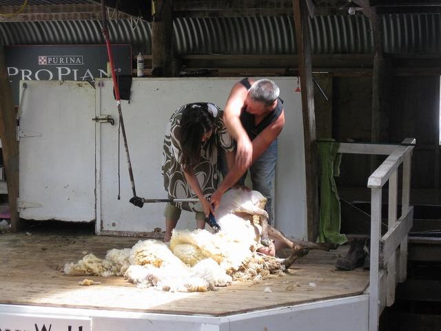 羊たちのショーへ!北オークランドのファームツアー