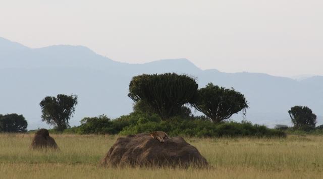 霊長類に沢山出会える!4泊5日ウガンダワイルドライフサファリツアー【キガリ空港発、エンテベ空港着】