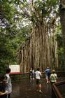 大きなカーテンフィグツリー(締め殺しのイチヂジクの木)
