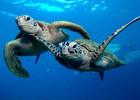 ダイバーに人気の海ガメ。シュノーケルでも高確率で会えます