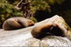岩で寝そべるアシカ