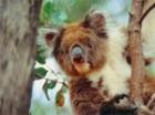 愛らしいコアラ