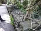 木の根っこに覆われる石