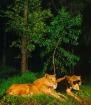 夜の百獣の王