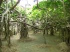 見事なバンヤンツリー