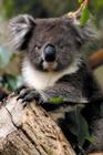 生きたぬいぐるみみたいなコアラ