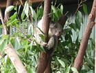 ハビタット動物園にて コアラ