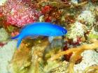 アオマスクの幼魚