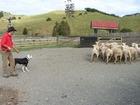 賢い牧羊犬による羊追いのパフォーマンス