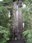 カウリの巨木