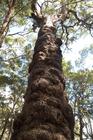 熱帯雨林ジャングルで見つけた大きな木