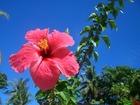 南国らしいハイビスカスが咲き誇るパラオ