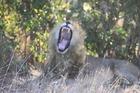 寝ていたライオンがいきなりあくび!