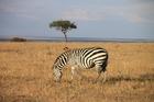 ケニアで一番人気の国立公園で見るシマウマ