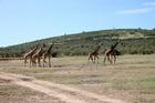 マサイマラ国立公園ではキリンも群れで見ることができる